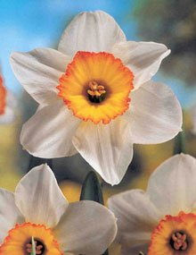 It's called the Flower Drift daffodil and it has been selected=