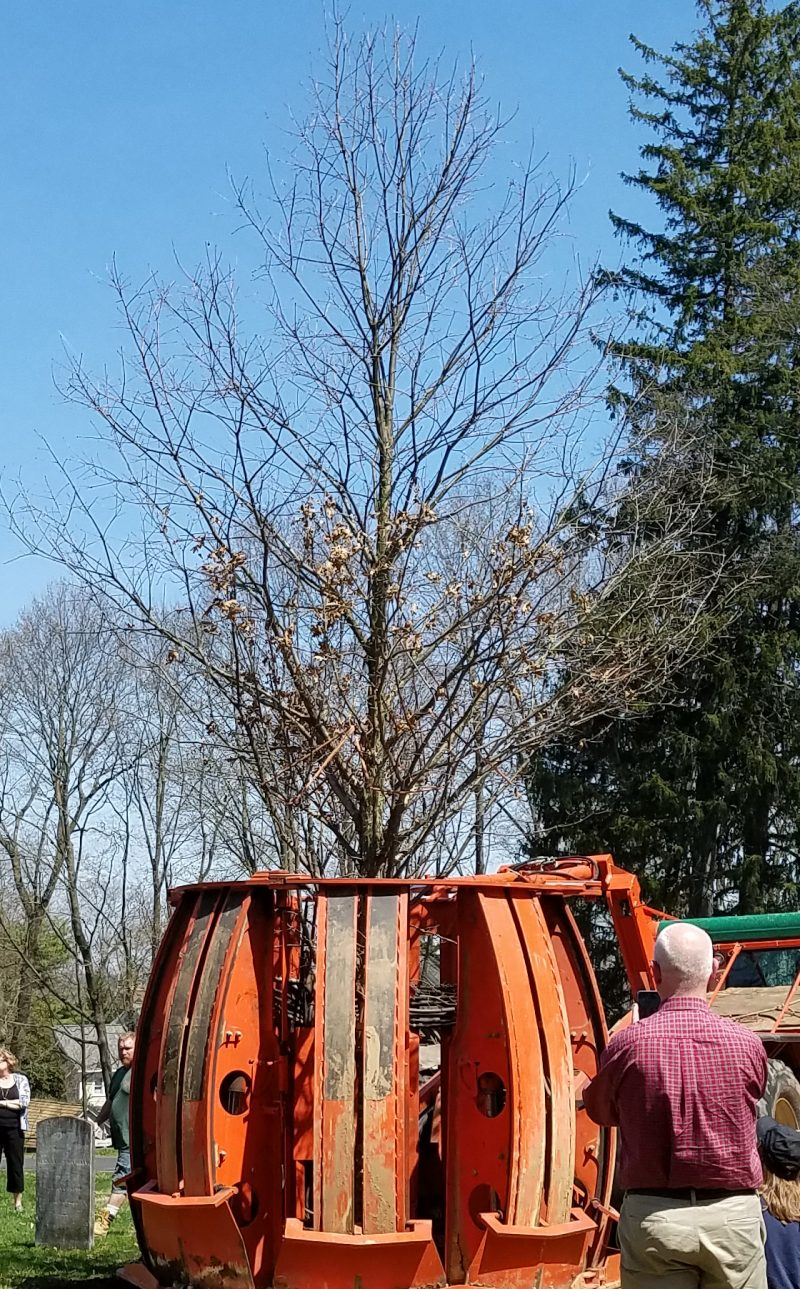 April 17, 2017 - life comes full circle with the offspring of the Basking Ridge Oak Tree