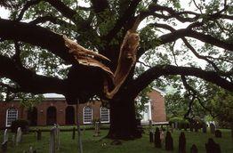 Basking-Ridge-Oak-Tree-Mark-Albright-1984