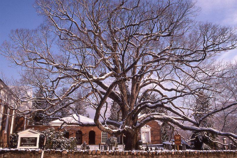 Basking-Ridge-Oak-Tree-Mark-Albright-1989